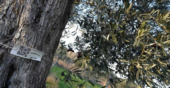 In Spain, thousands of olive trees saved thanks to the sponsorship