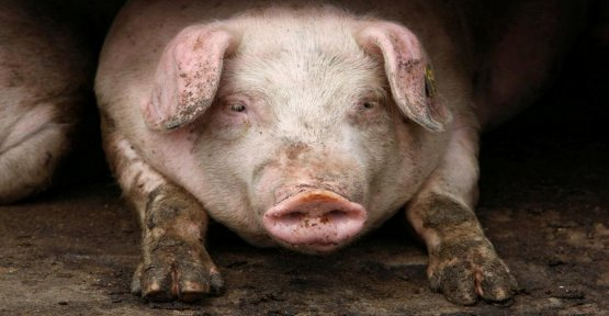 Brussels is concerned about the spread of african swine fever in Bulgaria