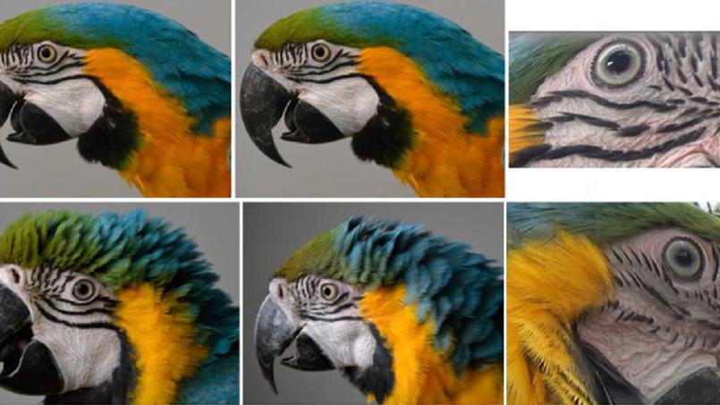 Comme les humains, les perroquets aussi rougissent sous le coup de l039;émotion