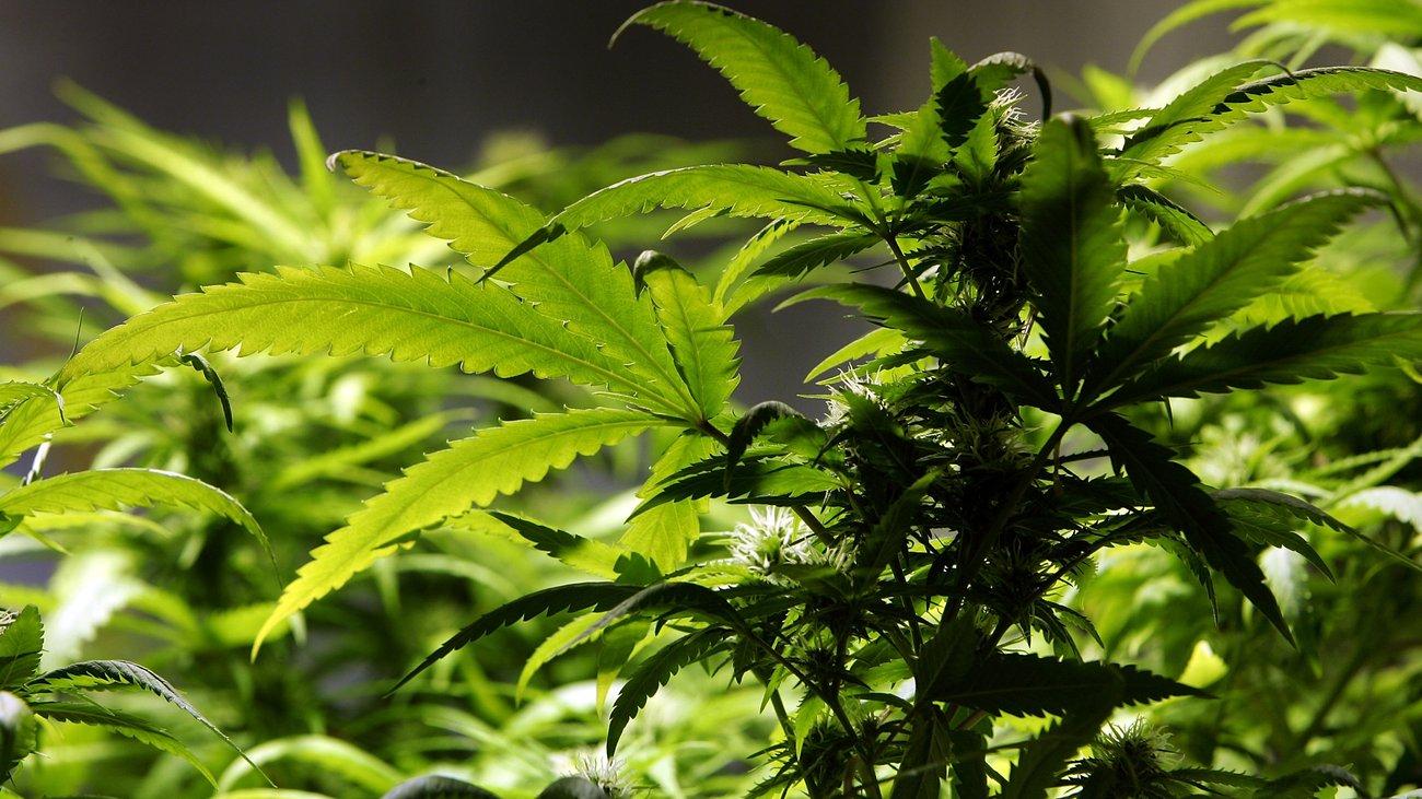 Medizinisches Cannabis: Deutschland importiert 1,5 Tonnen niederländisches Cannabis