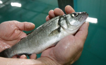Start-up allows the sea animals from the country: fish instead of Steak from the farmer